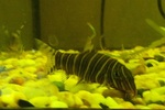 Colorful Zebra loach