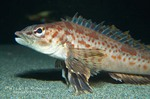 Combfish