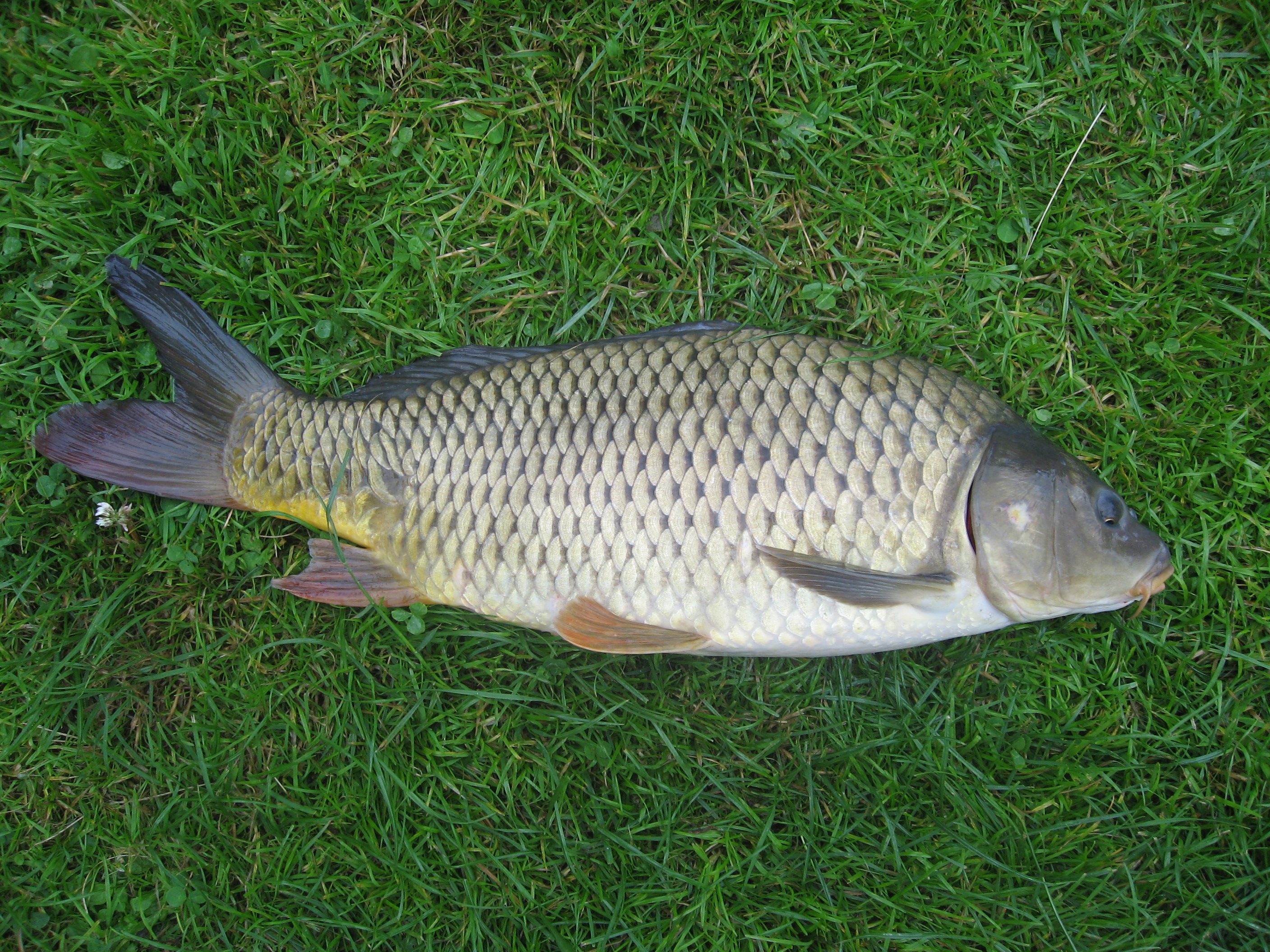 Common carp wallpaper