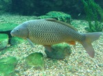 Common carps