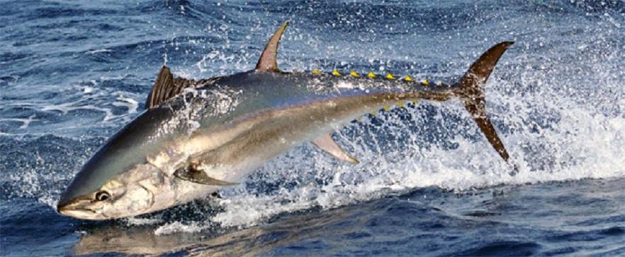 Обыкновенный тунец в прыжке фото