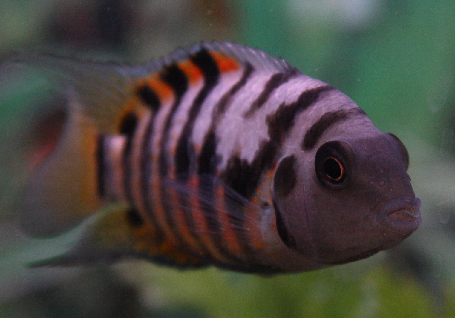 Convict cichlid front view wallpaper