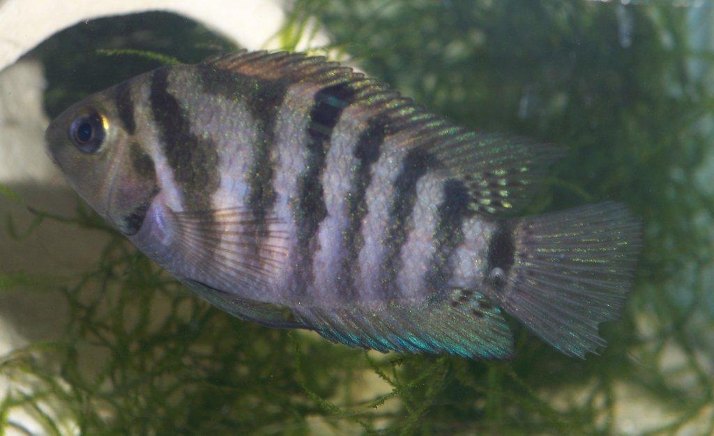 Цихлид в аквариуме фото