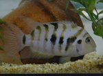Convict cichlid in bottom