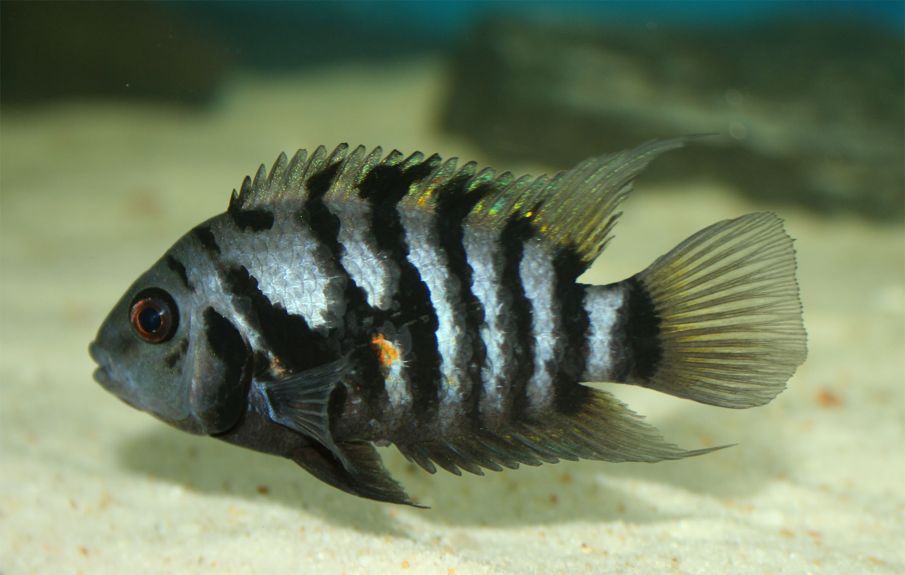 Convict cichlid wallpaper