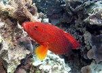 Coral rock cod