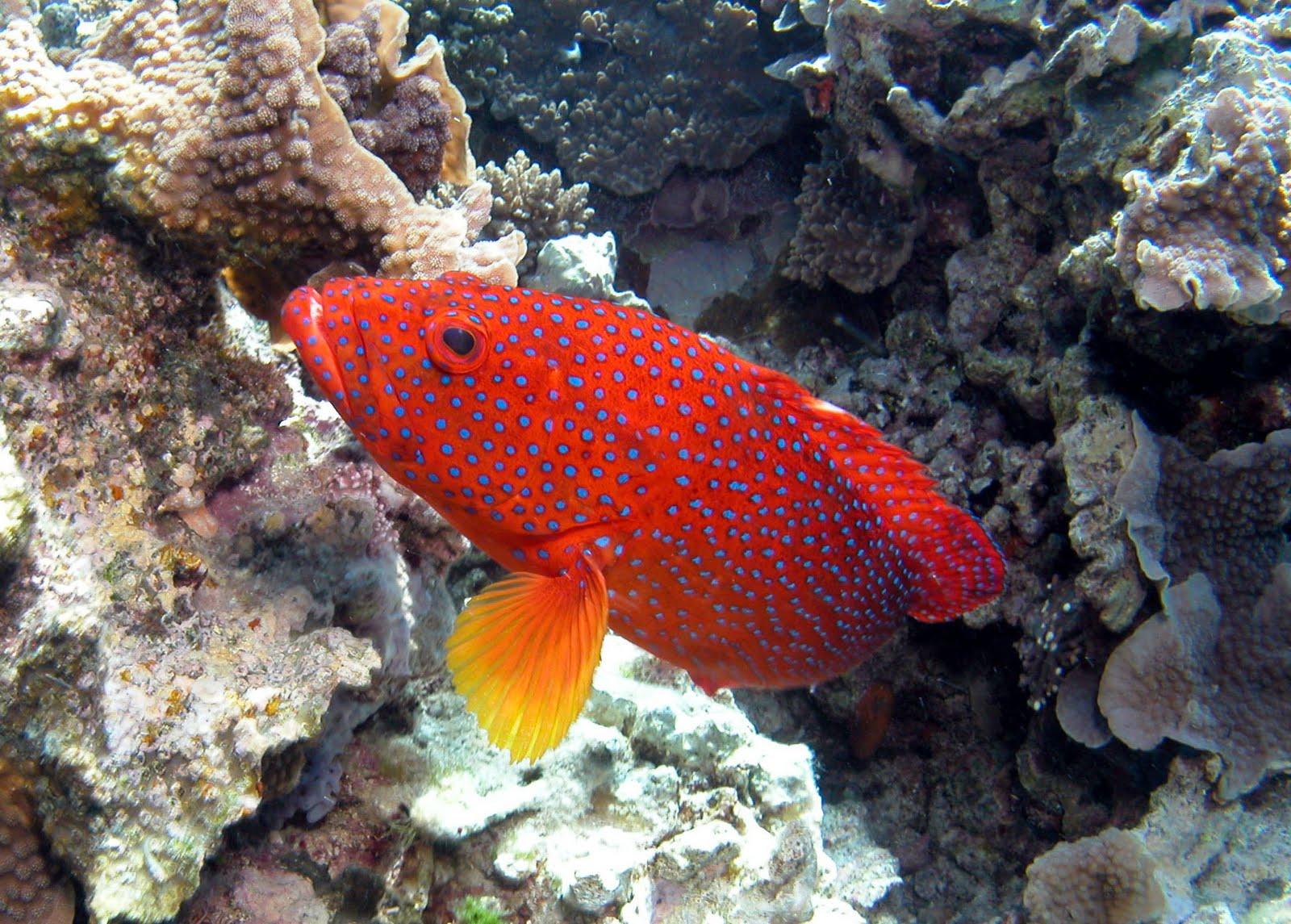 Coral rock cod wallpaper