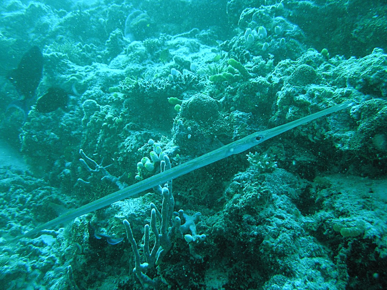 Cornetfish wallpaper