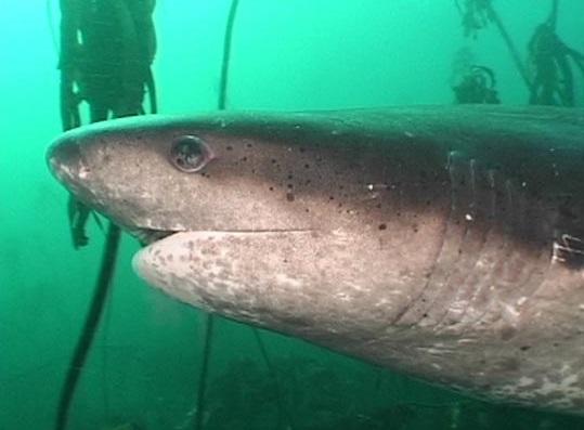 Cow shark swims wallpaper