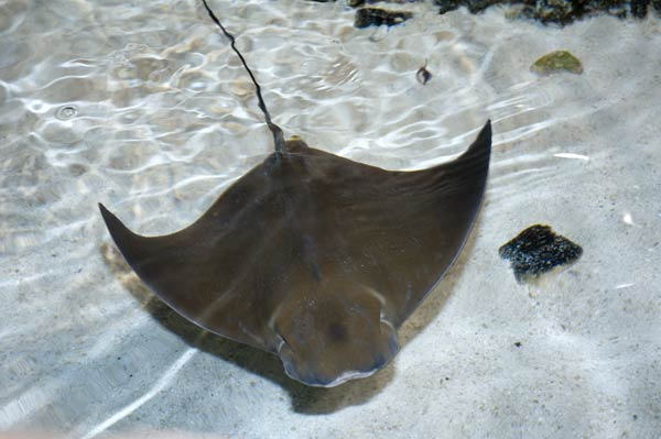 Cownose  ray wallpaper