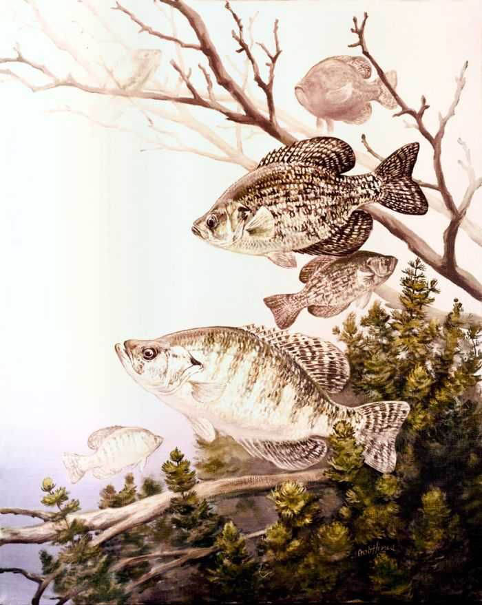 Crappie wallpaper