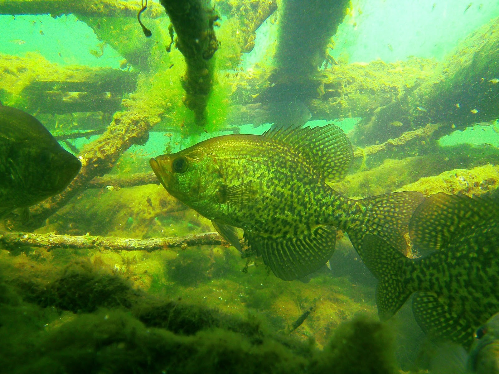 Crappie Photo And Wallpaper Cute Crappie Pictures