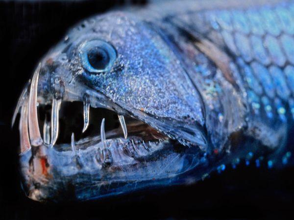 Crazy pacific viperfish wallpaper