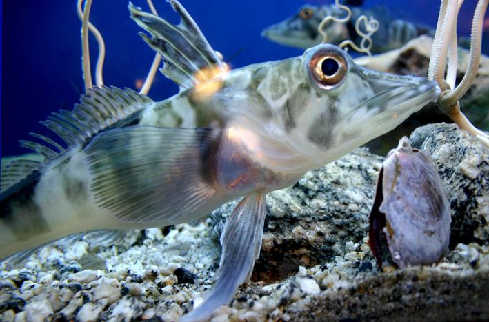 Белокровные рыбы фото