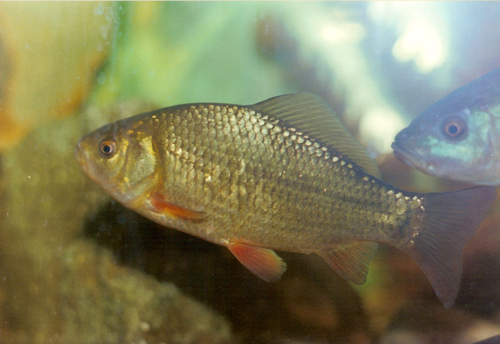 Crucian carp for a swim wallpaper