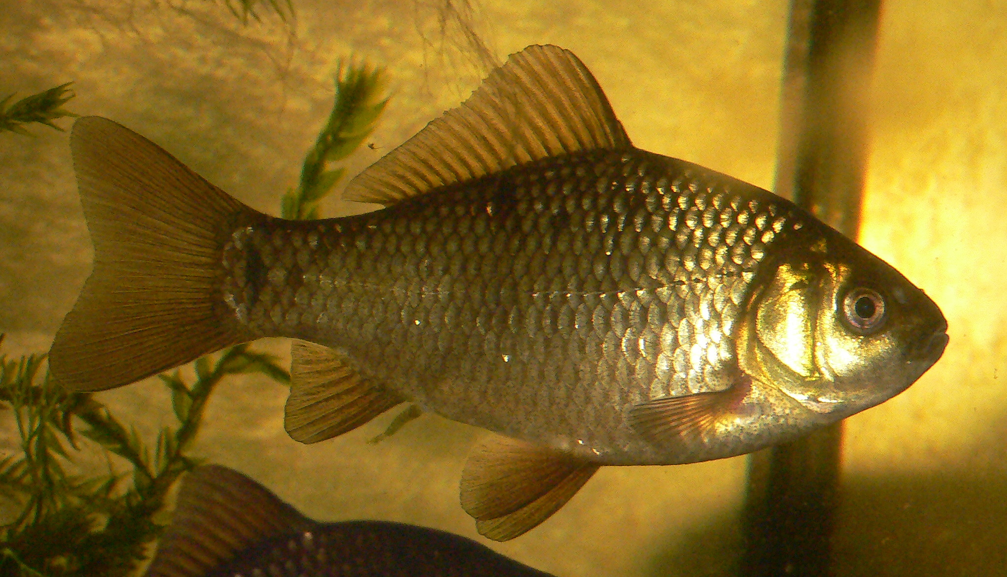 Crucian carp wallpaper