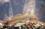 Crucian carps in aquarium