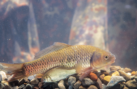 Crucian carps in aquarium wallpaper