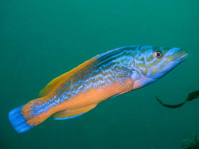 Cuckoo wrasse swims up wallpaper