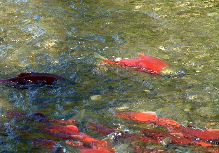 Сute Red salmon  wallpaper