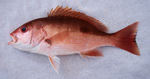 Cute Red snapper