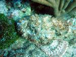 Cute Scorpionfish