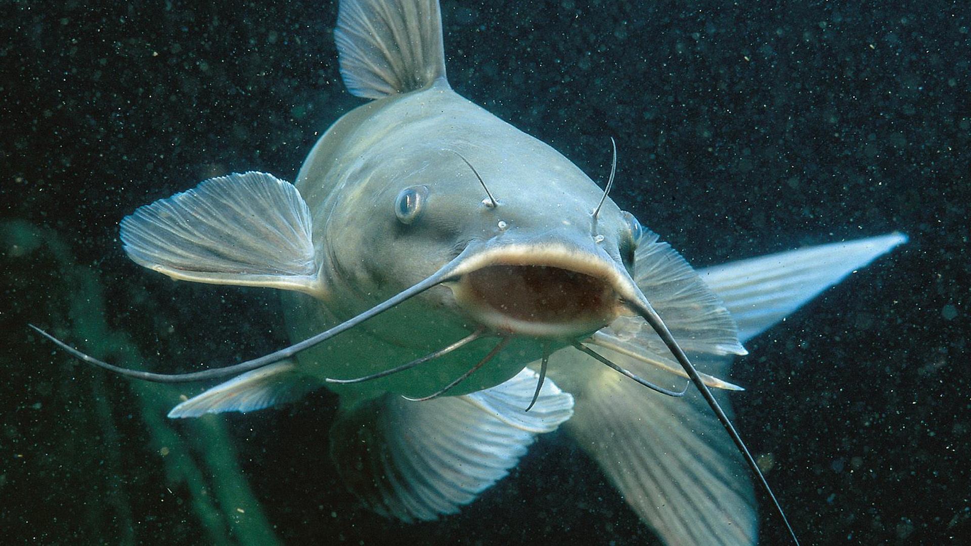 Cute Sea catfish wallpaper