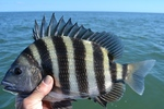 Cute Sheepshead