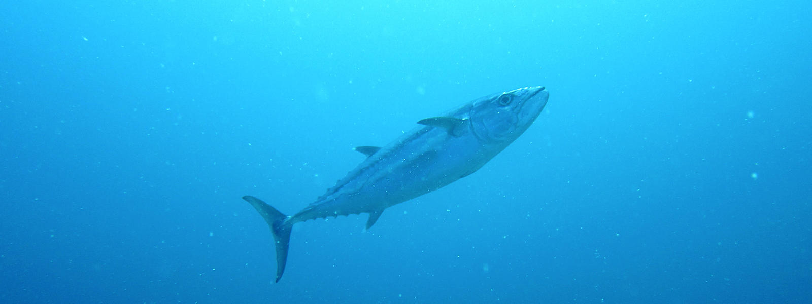 Cute Skipjack tuna wallpaper