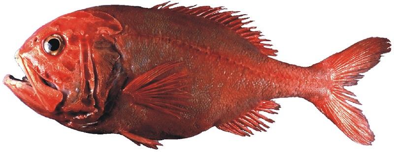 Симпатичная Бериксовая рыба фото