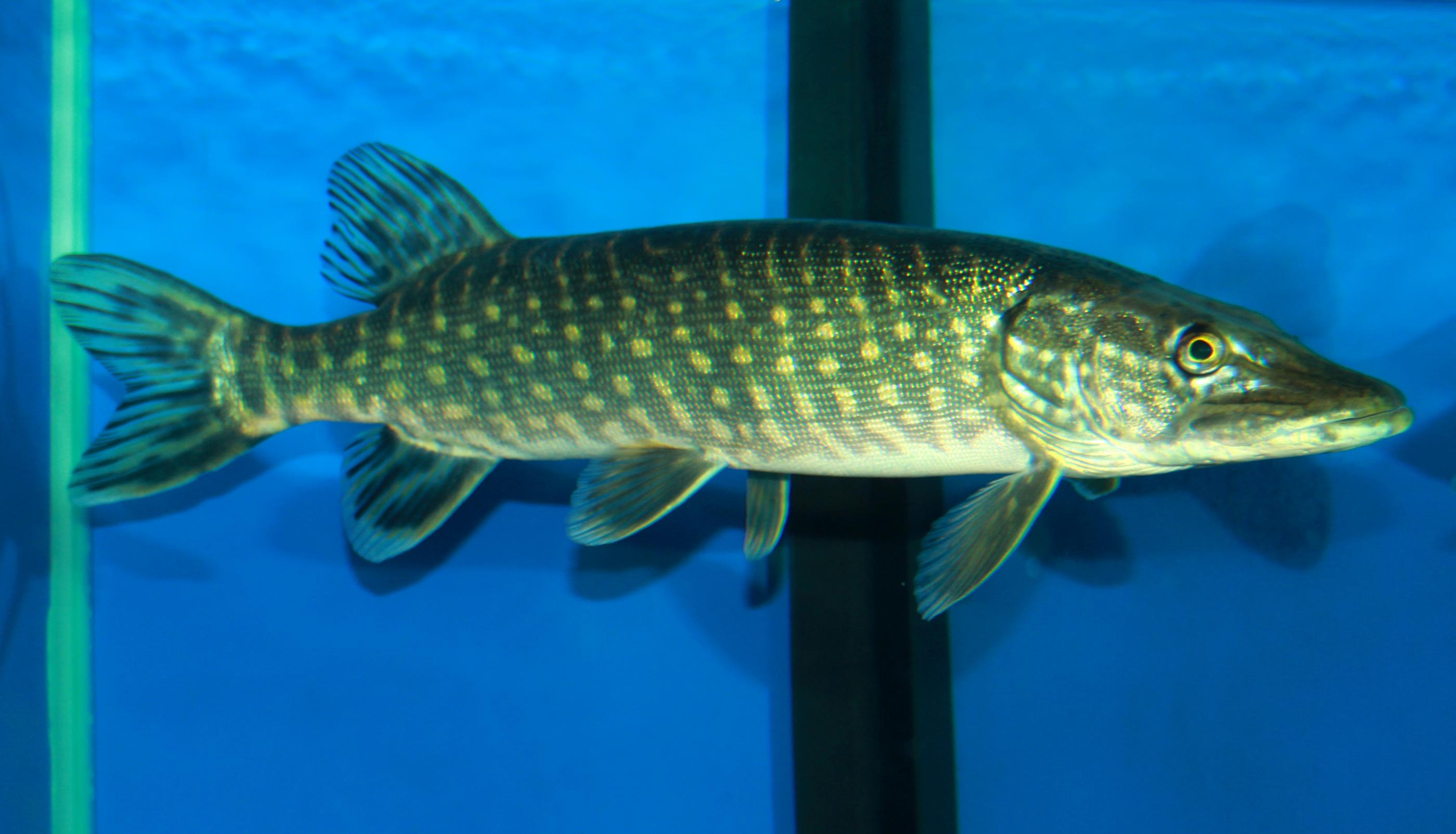 desktop wallpaper bass fish