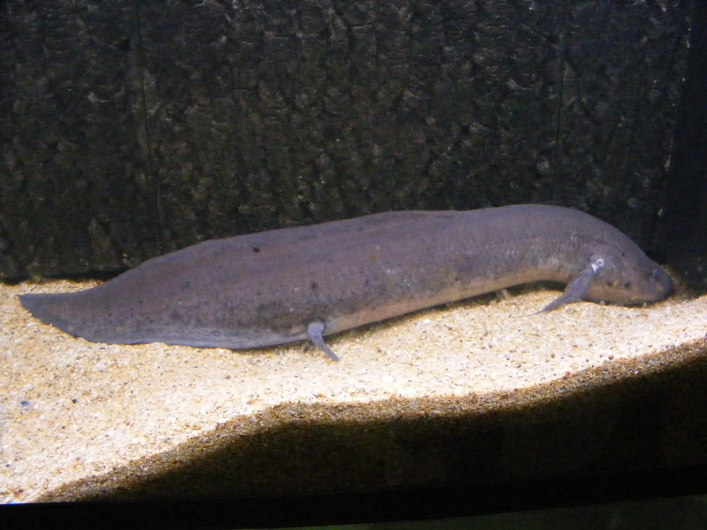 Cute South American Lungfish wallpaper
