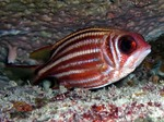 Cute Squirrelfish