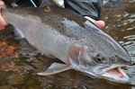 Cute Steelhead