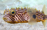Cute Striped burrfish