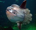 Cute Sunfish (mola mola)