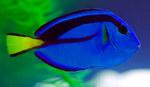 Cute Surgeonfish