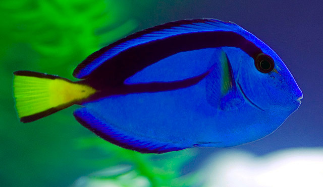 Cute Surgeonfish wallpaper
