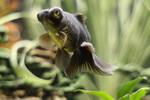 Cute Telescopefish
