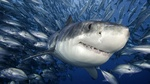 Cute Tiger shark