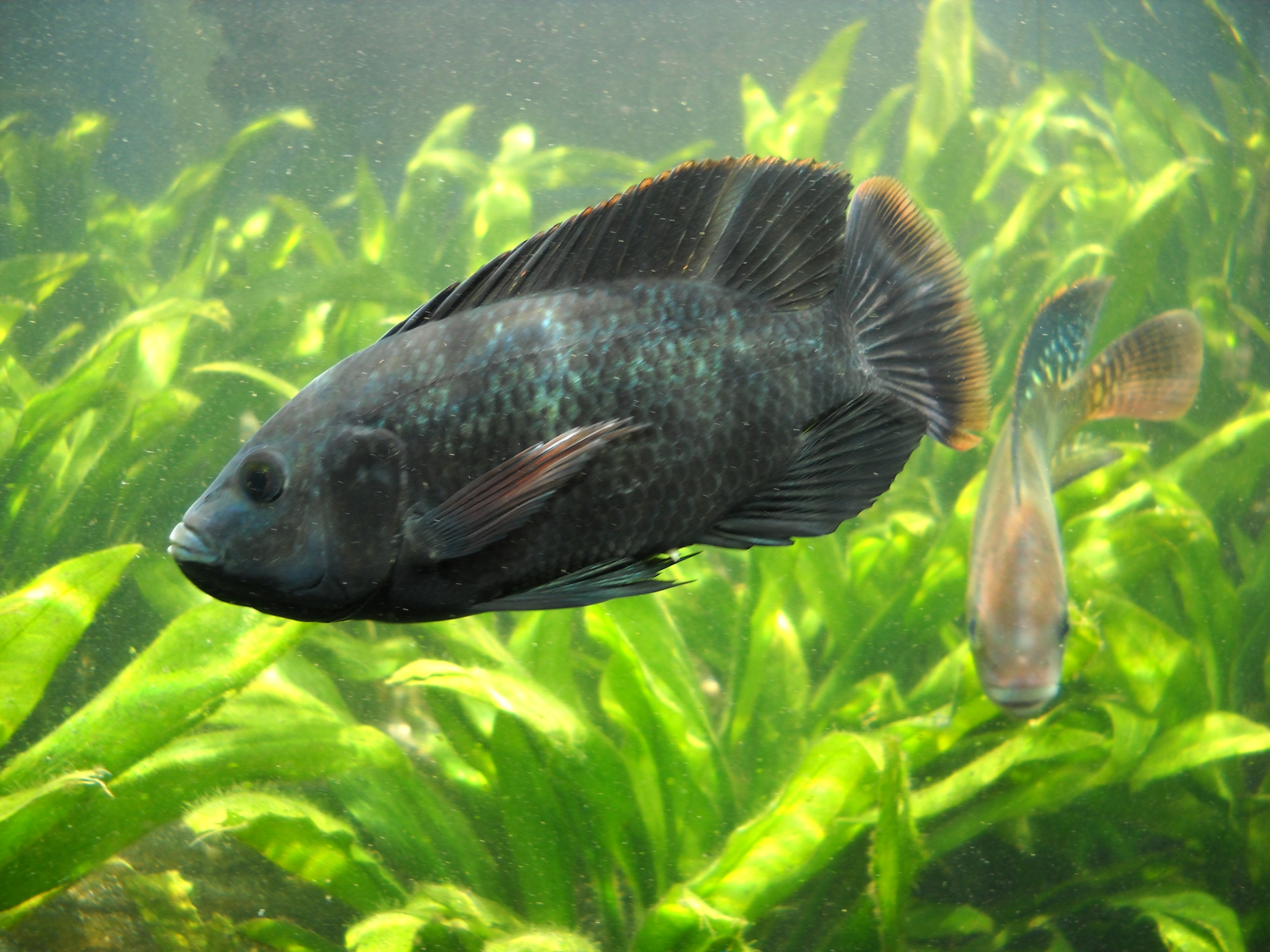 cute tilapia in the aquarium photo and wallpaper cute