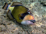 Cute Titan triggerfish