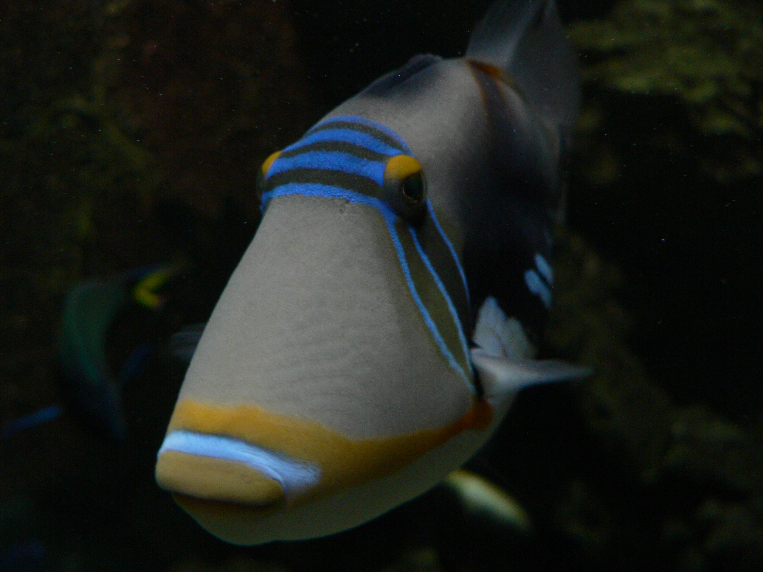 Cute Triggerfish  wallpaper