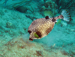 Cute Trunkfish