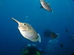 Симпатичные рыбы-единороги