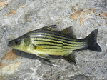 Cute Yellow bass