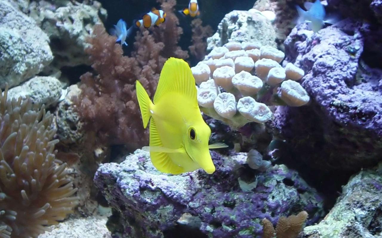Симпатичная Желтая зебросома фото