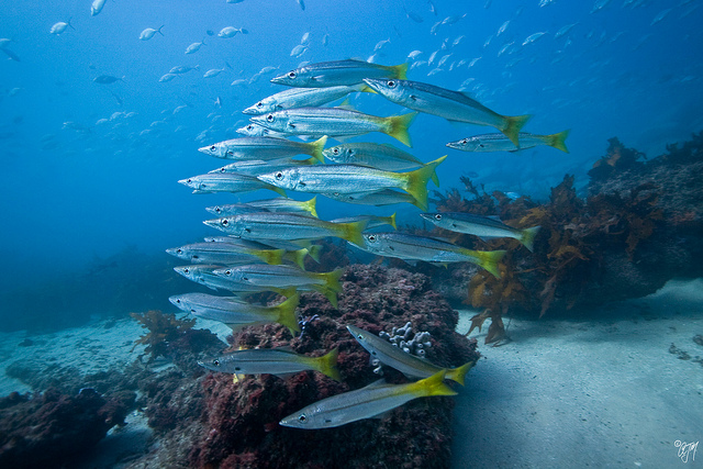 Cute Yellowfin pike fishes wallpaper