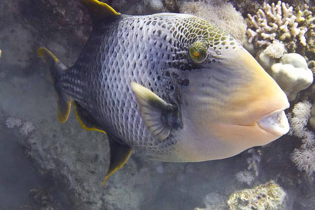 Cute Yellowmargin triggerfish wallpaper