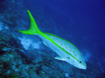 Cute Yellowtail snapper